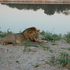 Male Lions; even lazier as females do most hunting. South Luangwa National Park, Zambia