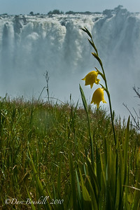 Yellow flowers bloom in the shadow of Victoria Falls in Zambia, Africa