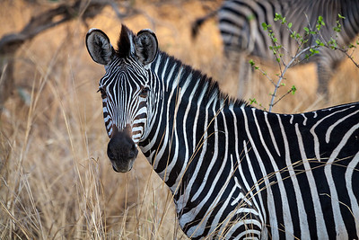 Luangwa National Park, Zambia A Plains Zebra in South Luangwa National Park.