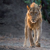 A young male lion (panthera leo), its mane still developing, moves toward the shade on a hot afternoon