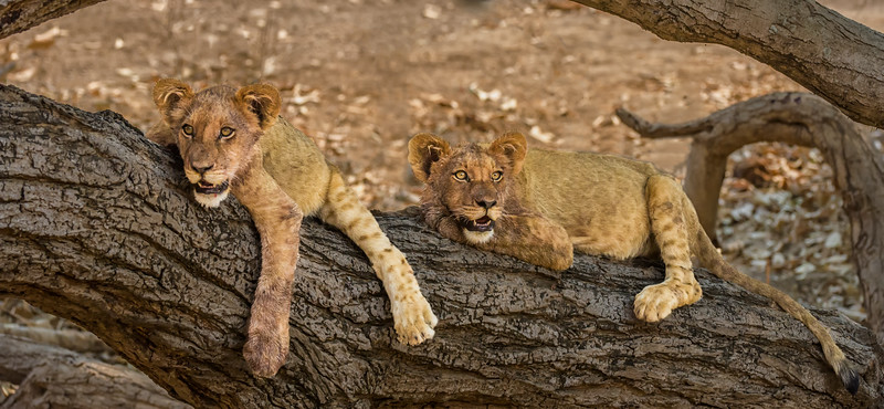 Lion Cubs Hanging Out
