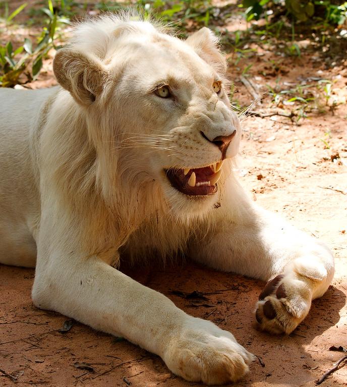 adolescent white lion on lion walk in zambia