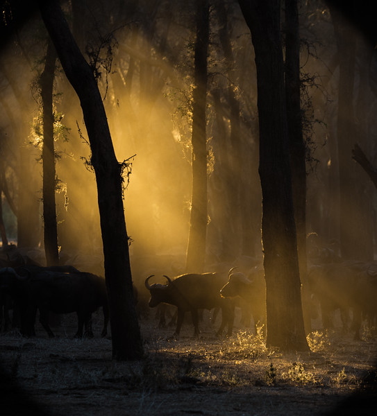 Buffalo Dust In The Sunlight