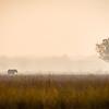 An elephant (loxodonta africana) crosses a plain towards the Zambezi River in the early morning haze