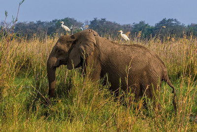 Lower Zambezi River, Zambia Is the egret guiding the elephant?