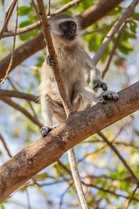 Luangwa National Park, Zambia A small monkey in Croc Camp next to South Luangwa National Park.