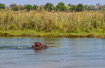 Lower Zambezi River, Zambia A hippopotamus in the Zambezi River.