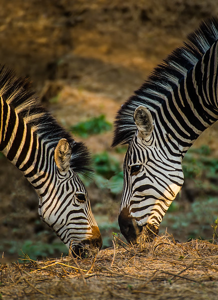 Dining Zebras