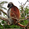 The Red Colobus monkeys in the Jozani National Forest, seem fairly accustomed to people and do not seem to be shy at all.