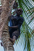 Boy scaling cocunut tree, spice plantation, Zanzibar, Tanzania, Africa.  March 2008