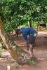 Boy scaling cocunut tree, spice plantation, Zanzibar, Tanzania, Africa.  March 2008