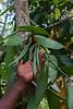 Spice plantation, Zanzibar, Tanzania, Africa.  March 2008