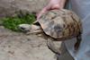 Tortoise, Turtle Sanctuary, Nungwi Beach, Zanzibar, Africa.  March 2008