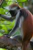 Zanzibar red colobus monkey, Ufufuma Forest, Zanzibar, Tanzania, Africa.  March 2008