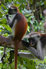 Zanzibar red colobus monkeys, Ufufuma Forest, Zanzibar, Tanzania, Africa.  March 2008