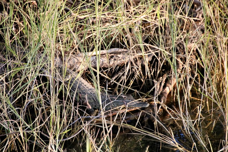 baby crocodile - Zambezi National Park