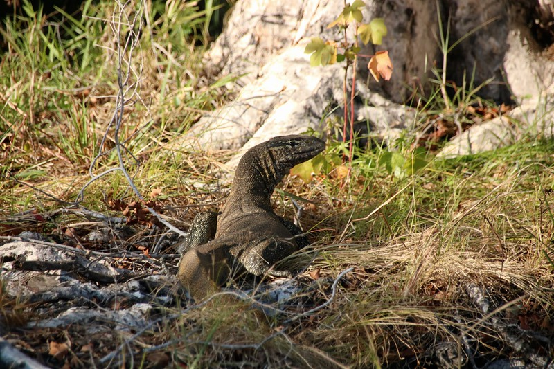 Water Monitor Lizard - Zambezi National Park