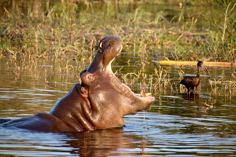 hippo - Zambezi National Park