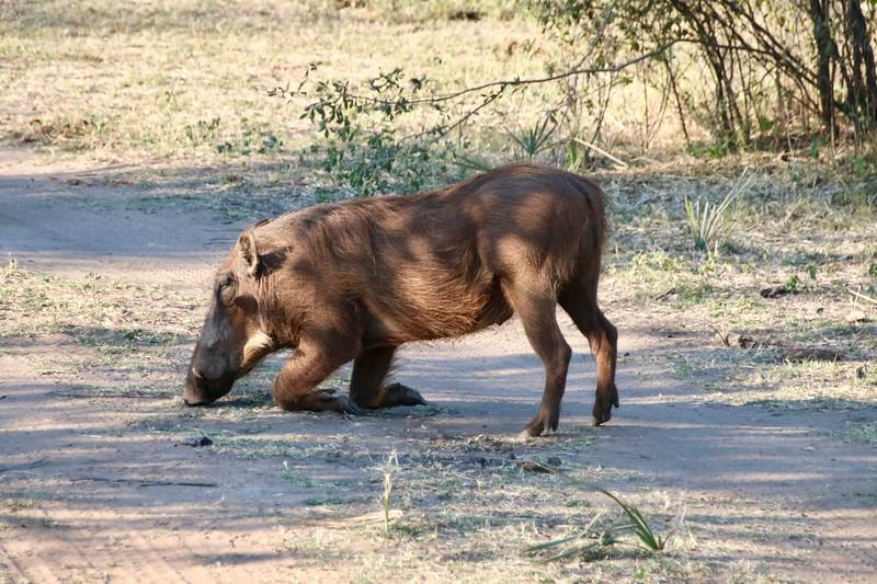 warthog - Zambezi National Park