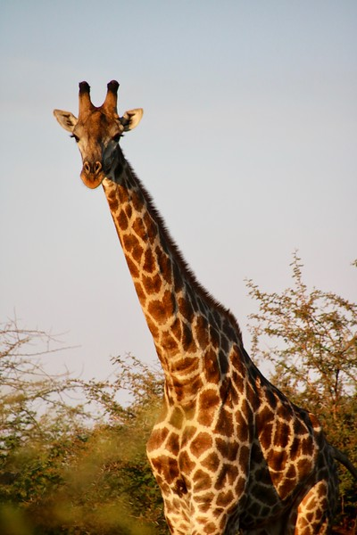 Giraffe - Zambezi National Park