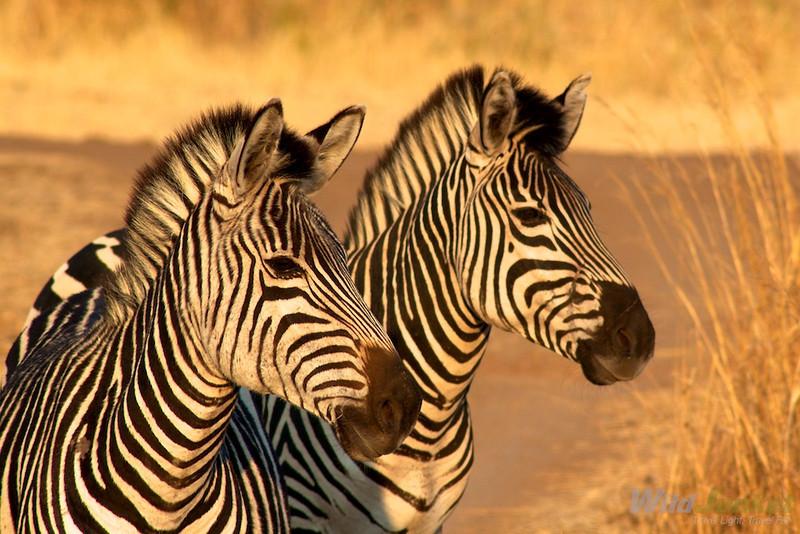 Zebras in Victoria Falls Nature Reserve