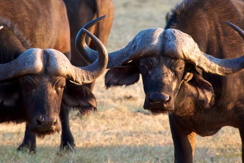 Buffalos staring at us
