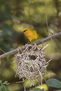 The beautiful weaver bird