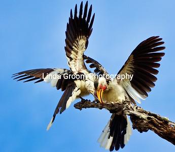 Mating Hornbills