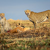 Cheetah family 9
