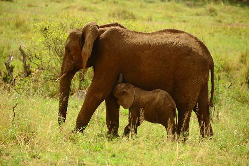 The bond between a baby elephant and its mother can be correctly described as the closest of any animal on earth. If it is a female baby, she will typically remain together with her mother right into her own adulthood and will likely never once be separate from her until the mother dies of old age.