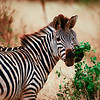A zebra's life span in the wild is approximately 25 years. This is amazing since it is constantly in a battle with hunger and the countless threat posed by the local wildlife.