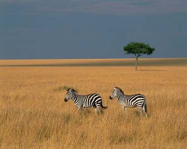 Kenya, Masai Mara National Reserve / Plains Zebras, Equus burchellii, with golden bands of sunrise light and lone Acacia, Egyptica baratites, 804H2