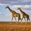 Giraffes on Lake Amboseli
