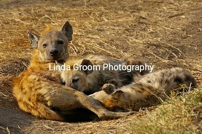 Nursing Hyenas