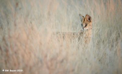 Serval Stare