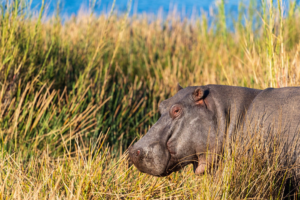 Hippopotamus (Happy?)