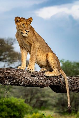Female Lioness Portrait