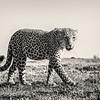 Leopard bnw prowl