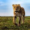 Stalking female lioness