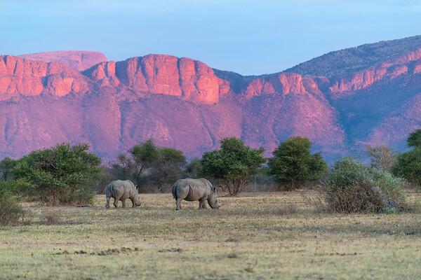 White Rhinoceros at Sunset