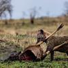 Hyena on a kill 6