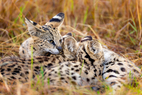 Serval Cat Mothers Love