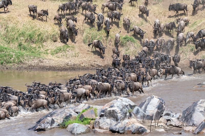 Wildebeest crossing, Mara river