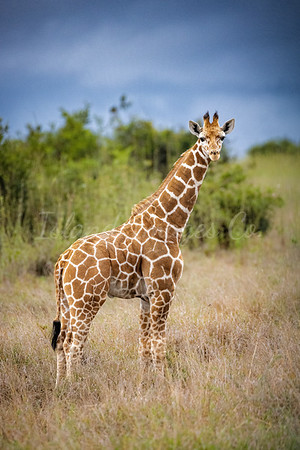 Baby reticulated Giraffe