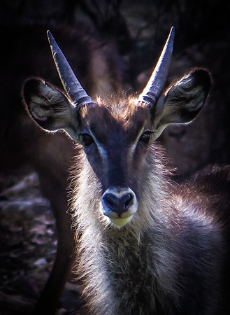 Heart my nose.  Male Water Buck.  South Luangwa National Park, Zambia