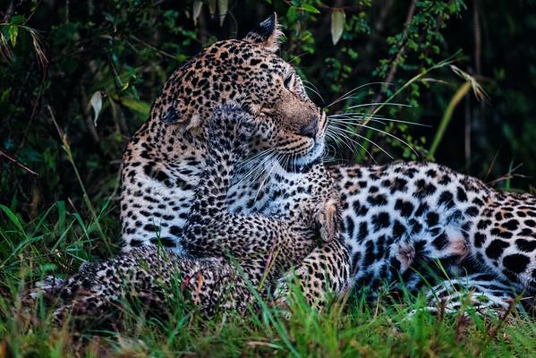 Leopards together