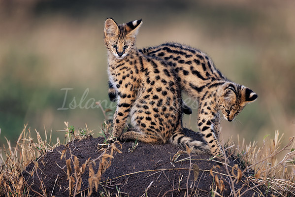 Serval cat kittens 2