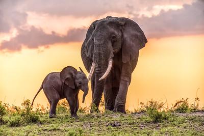Elephants at Sunset 1584