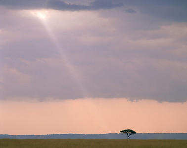 Kenya, Masai Mara National Reserve / Ray of light falling on silhouetted Acacia, Egyptica baratites .   804H2