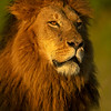 Head shot Portrait of a male maned lion in Masai Mara Wildlife Refuge in Kenya
